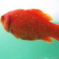 金魚の白点病
