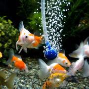 酸素ポンプと金魚