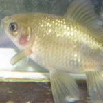 金魚の色が薄くなる・白くなる 色落ちの原因と色揚げの方法