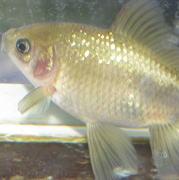 色落ちした金魚