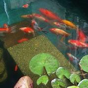 屋外の池を泳ぐ金魚