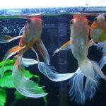 金魚の餌やり 餌の与え方と量・頻度・おすすめの餌