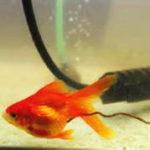 金魚の水槽掃除方法・頻度と便利な道具・ポンプ