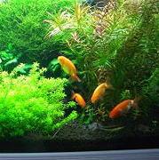 金魚水槽レイアウトを引き立てる水草