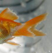 金魚の尾ぐされ病