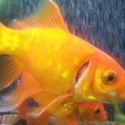 金魚のエラ病