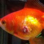 金魚の鱗が剥がれる 穴あき病 初期症状から完治まで・治療薬・イソジン