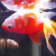 金魚がひっくり返る 転覆病 原因と予防・治し方