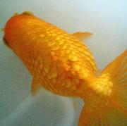 金魚の松かさ病