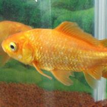 塩水浴をする金魚
