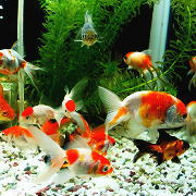 金魚同士の相性と混泳