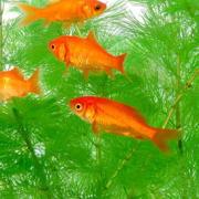 金魚藻と金魚