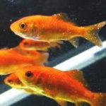 金魚の病気⁉︎白い膜・カビ・綿・斑点 原因と治療法