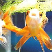 餌を食べない金魚