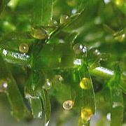 金魚の産卵 金魚の卵が孵化するまでの飼育法・卵の育て方と孵化日数