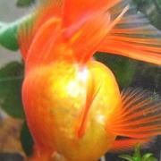 卵をなかなか産まない金魚