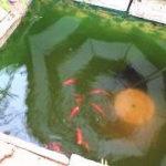 金魚の飼育水が緑色!グリーンウォーターを透明にする方法・対策・除去