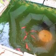 グリーンウォーターと金魚