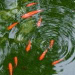 金魚が動かない!?冬の金魚飼育 冬眠と水温の関係