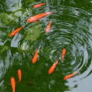 冬眠前で動きが鈍い金魚