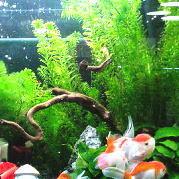 水草の中を泳ぐ金魚
