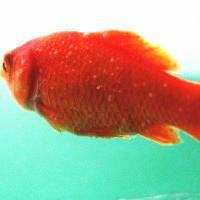 白点病に罹った金魚