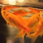 病気や酸欠のサイン?金魚が水面で口をパクパクする原因と対策