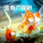 金魚の産卵