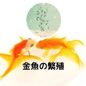 金魚の繁殖