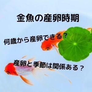金魚の産卵時期