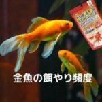 金魚の餌やり頻度