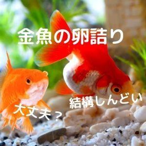 金魚の卵詰り