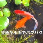 金魚が水面で